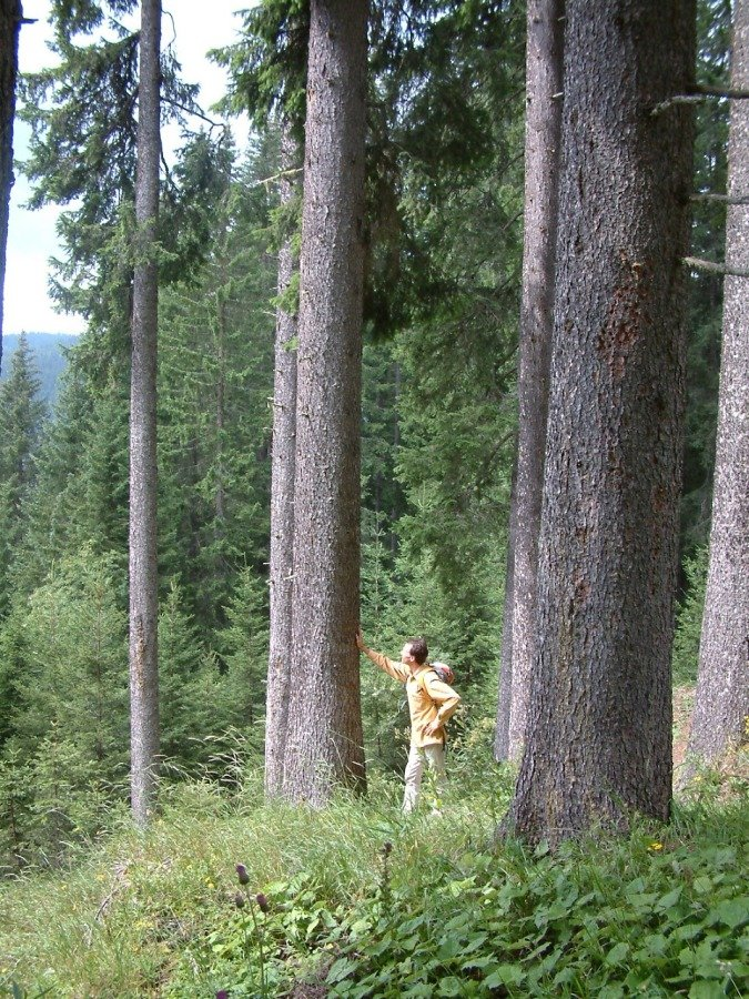 Hiking in the forest, next by a spruce tree. I make the top of the violin from this wood. Woodbuying tour to Paneveggio, South Tirol in 2009.